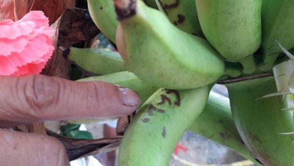 ฮือฮา กล้วยไข่ให้หวย ออกปลีกลางต้น ลายเป็น3ตัวชัดแจ๋ว!